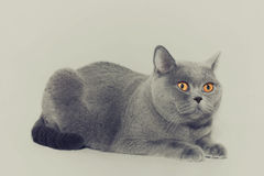 British gray cat. Portrait of beautiful young short-haired British gray cat with yellow eyes on a light background Royalty Free Stock Images