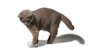 British gray cat playing with a ball on white background Royalty Free Stock Photography