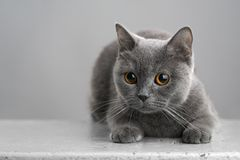British gray cat on a stool Stock Image