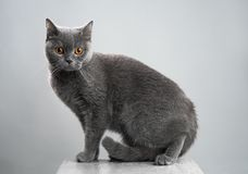 British gray cat on a stool Stock Images
