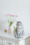 British gray cat Stock Images