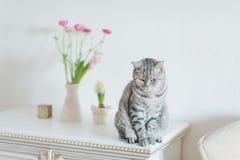 British gray cat Royalty Free Stock Image