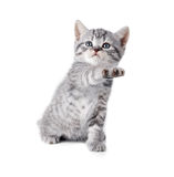 British gray playing whiskas kitten Stock Images