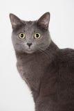 British grey cat. Closeup portrait of a british grey cat Stock Images