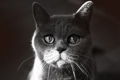 British Grey Cat Royalty Free Stock Images