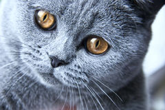 British grey cat close up Stock Image