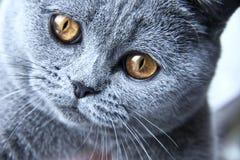 British grey cat close up Stock Image