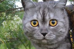 British grey cat on a summer walk with a surprised funny feeling, up a tree. Face to face, looking in front. looking at the camera stock photo