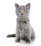 British grey kitten (3 months) Royalty Free Stock Photos
