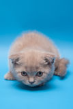 British grey short-hair kitten Royalty Free Stock Photography