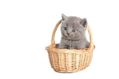 British grey short-hair kitten in a basket Royalty Free Stock Photos