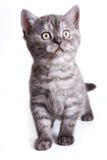 British kitten Royalty Free Stock Photo