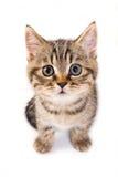 British kitten. On white background Stock Photo