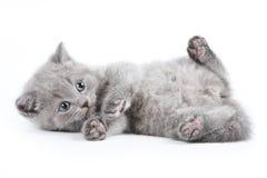 British kitten Stock Photos