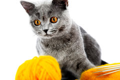 British kitten Royalty Free Stock Images