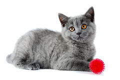 British kitten Stock Photography