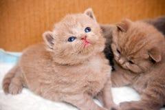 British Kitten. Close-up newborn little british kitten looking up Royalty Free Stock Photos