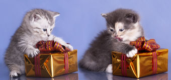 British kitten. And gifts in a shiny box with a blue background Royalty Free Stock Photo