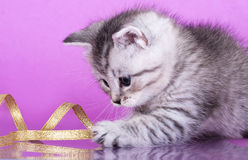British kitten. Plays with a golden ribbon Stock Images