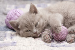 British kitten. 1 to 5 months rare color (lilac) playing with a ball of yarn Royalty Free Stock Images
