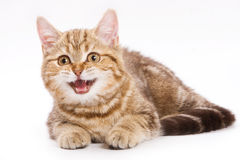 British kitten Royalty Free Stock Image