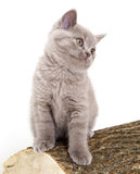 British kitten Royalty Free Stock Photos