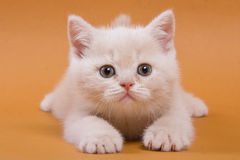 British kitten Stock Images