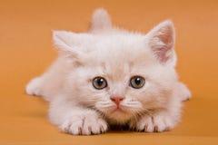 British kitten Stock Photo