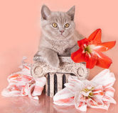 British kitten. And a white background Stock Image