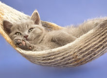 British kitten. And a blue  background Royalty Free Stock Images