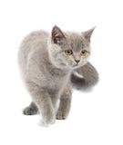 British Kitten Royalty Free Stock Photos