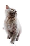 British kitten Stock Image