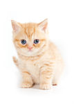 British kitten Stock Image