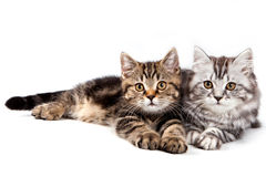 British kitten. On white background Stock Images