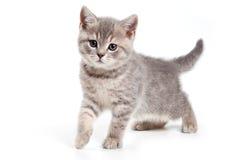 British kitten Royalty Free Stock Image