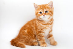 British kitten Royalty Free Stock Photo