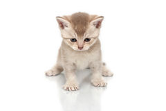 British kitten. It is isolated on a white background Stock Image