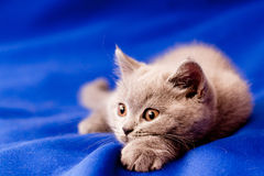 British kitten Stock Photo