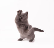 British kitten. On white background Royalty Free Stock Photos