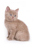 British kitten. S on white background Royalty Free Stock Photo