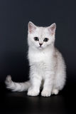 British kitten. White british kitten on dark background Stock Images