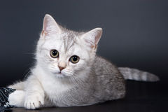 British kitten. On dark background Stock Image