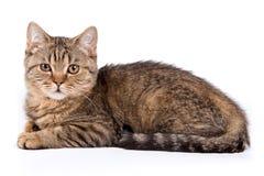 British kitten Royalty Free Stock Photography