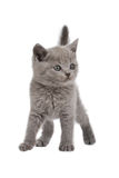 British kitten. Isolated over white Royalty Free Stock Photo