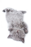 British kitten. On white background Stock Photography