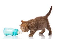 British Kitten and baby milk bottle on white Stock Photography