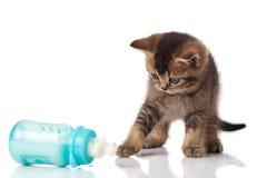 British Kitten and baby milk bottle on white Royalty Free Stock Image