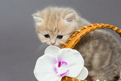 British kitten in a basket Royalty Free Stock Image