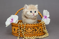 British kitten in a basket Royalty Free Stock Photos