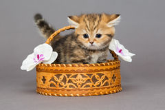 British kitten in a basket Royalty Free Stock Photo